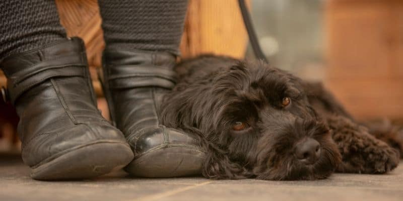 brown dog laying at feet of owner - Why Do Dogs Lay At Your Feet?