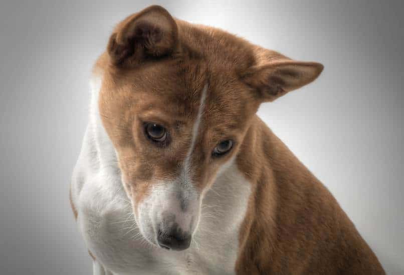 brown and white Basenji looking down is the best hypoallergenic dogs for kids