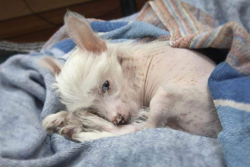 Chinese Crested dog lying on a blue blanket