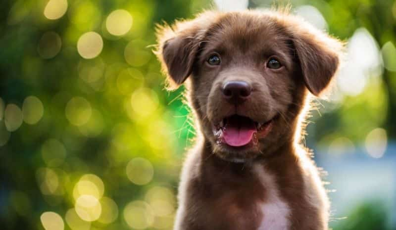 brown puppy outside - how to treat dog dandruff
