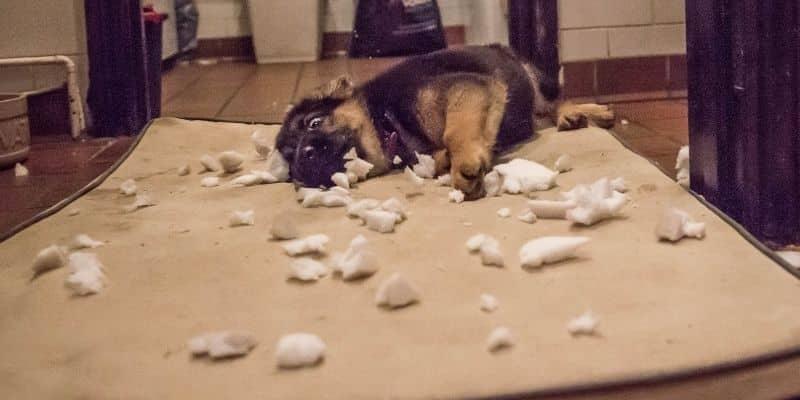 German Shepherd puppy biting pillow apart on floor