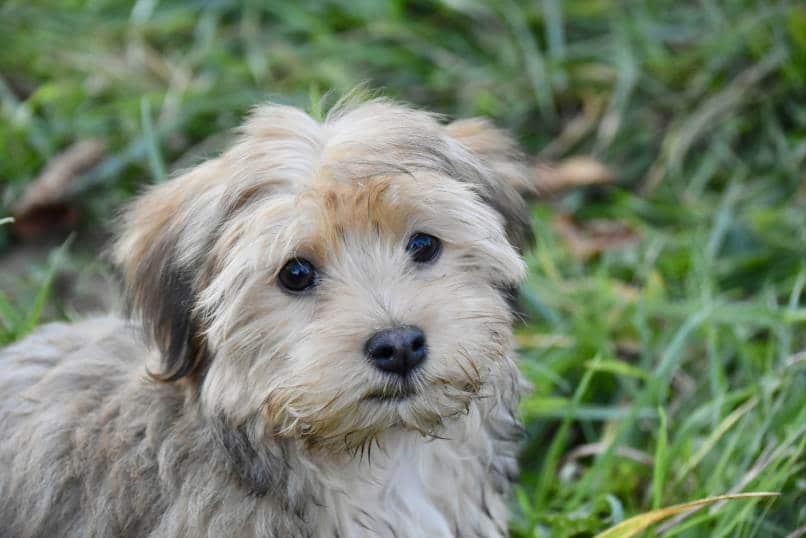 Havanese dog sitting in the grass