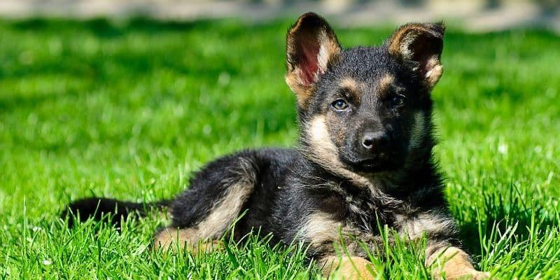 cute German Shepherd puppy lying in lawn grass