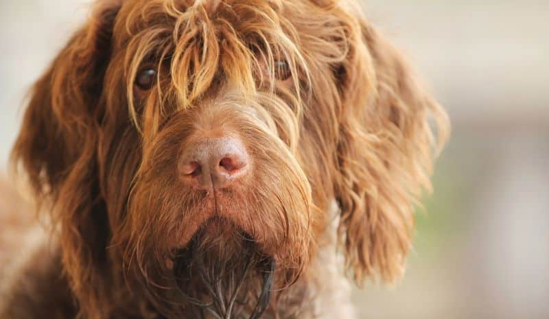 brown dog with long hair - how to get rid of dog dandruff