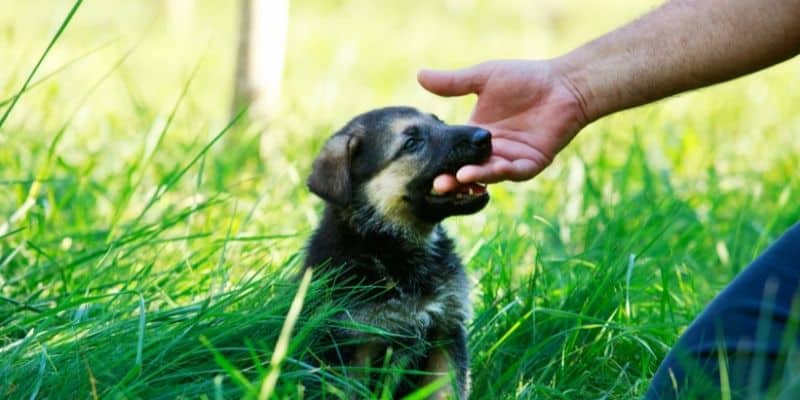 How to Stop German Shepherd Puppy from Biting