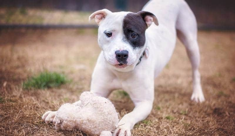 pit bull puppy outside playing with stuffed toy