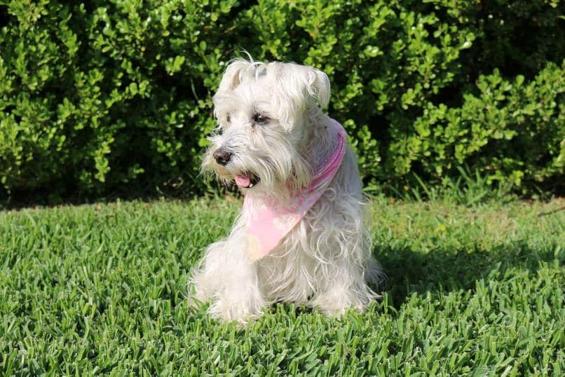 Schnauzer sitting on grass with a pink scarf