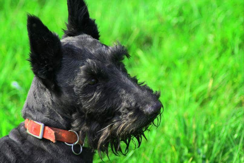 Scottish Terrier sitting outside in the grass